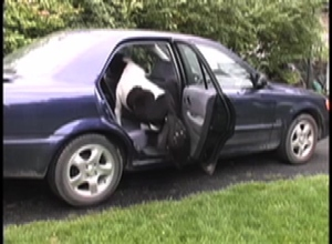 Panda getting in car 3