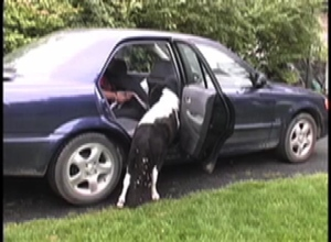 Panda getting in car