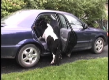 Panda getting in car2