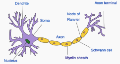 nerve cell 5