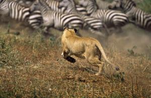 zebras lion