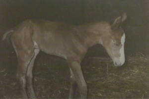 Peregrine foal sleeping standing