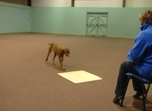 Shaping a dog to trot to a mat.