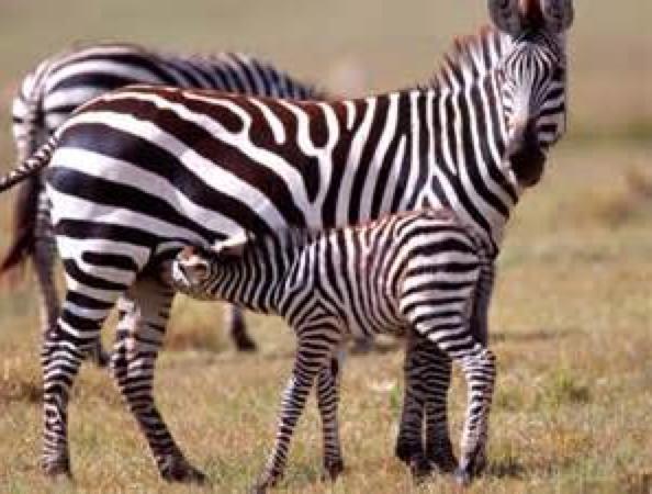 aa zebra nursing
