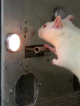 rat-pressing-lever
