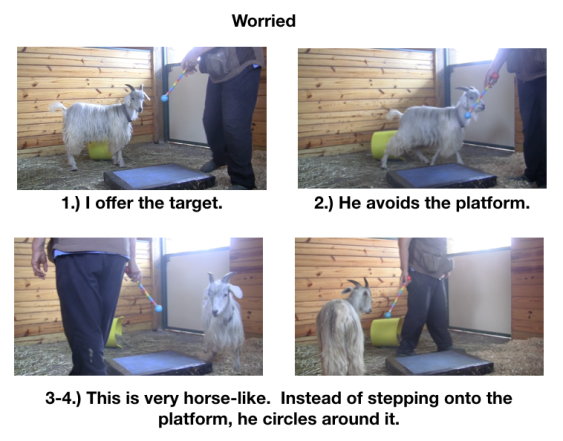 Goat Diaries Day 3 E's First Platform Session - Worried -first panel 4 photos.png
