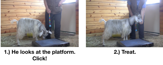 Goat Diaries Day 3 E's First Platform Session - Worried -looking at platform 2 photos.png