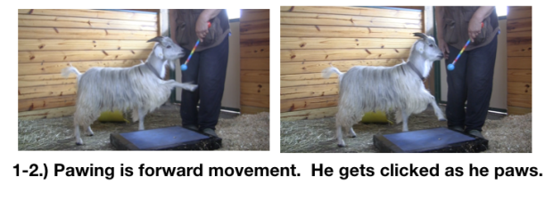 Goat Diaries Day 3 E's First Platform Session - Worried -pawing 2 photos.png
