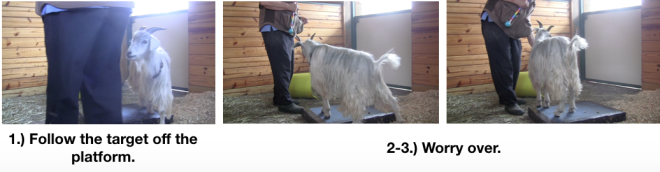 Goat Diaries Day 3 E's First Platform Session - Worried -worry over.png