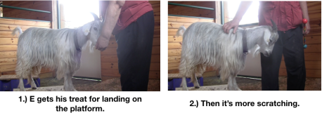 Goat Diaries Day 4 - E on 2 platforms - pt. 2 - panel 3.png