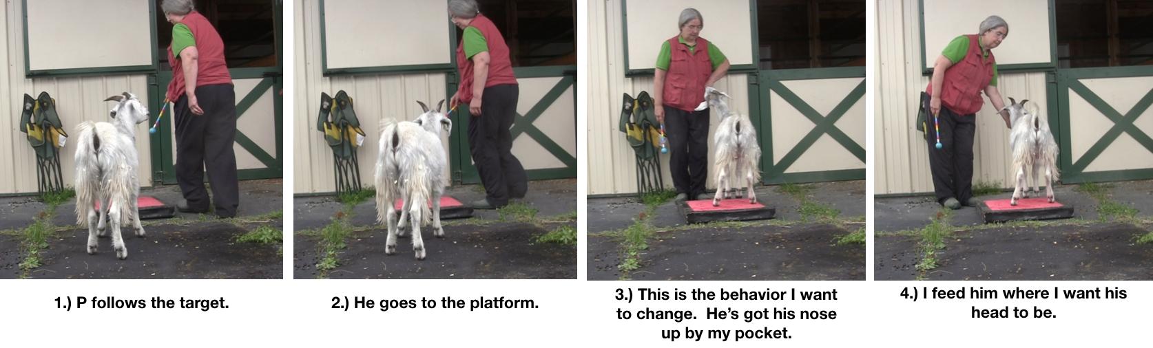Goat Diaries Day 4 - P - Platforms Pt 1 - panels 1-4.png