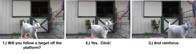 Goat Diaries- Day 4- P's 11 am Session - leaving platform 3 photos.png