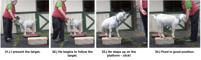 Goat Diaries Day 4 Two Platforms Pt 2 What a Nimble Goat - panels 31-34.png