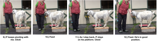 Goat Diaries Day 4 Two Platforms Pt 2 What a Nimble Goat - panels 9-12.png