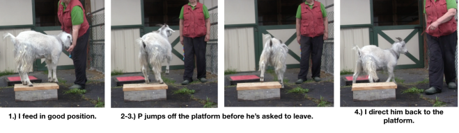 Goat Diaries Day 4 Two platforms Pt 3 - A Less Than Perfect Goat - panel 1.png