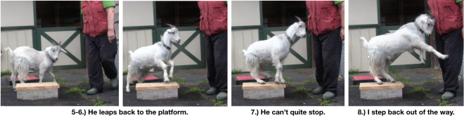 Goat Diaries Day 4 Two platforms Pt 3 - A Less Than Perfect Goat - panel 2.png