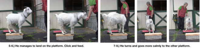 Goat Diaries Day 4 Two platforms Pt 3 - A Less Than Perfect Goat - panel 6.png
