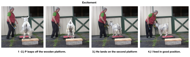 Goat Diaries Day 4  Two platforms Pt 5 Lots of energy into stillness - Excitement.png