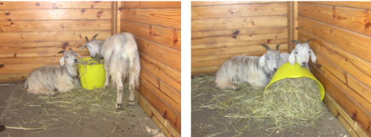 goats with hay bucket