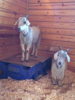 IMG_2793 Goats on platform