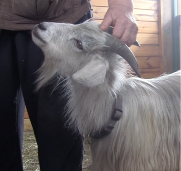 goat diaries head scratch with E.png