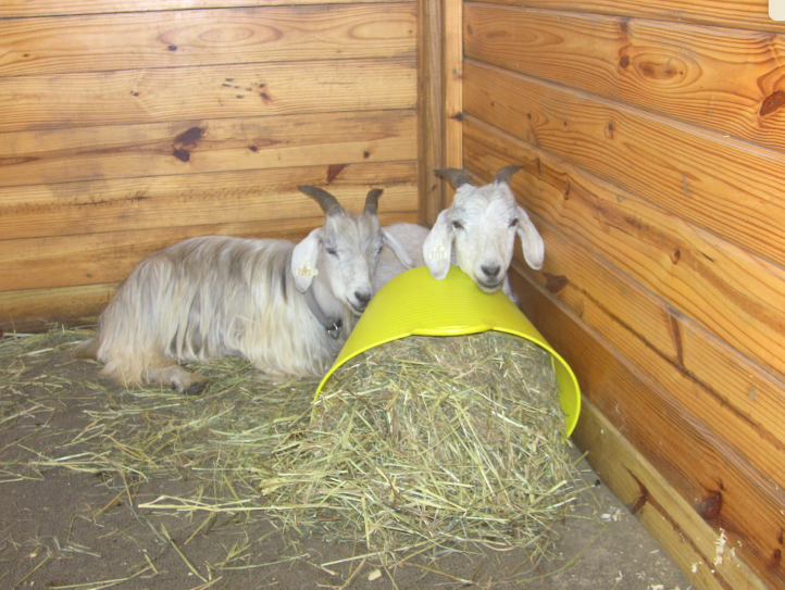 Goats lying down by bucket.png