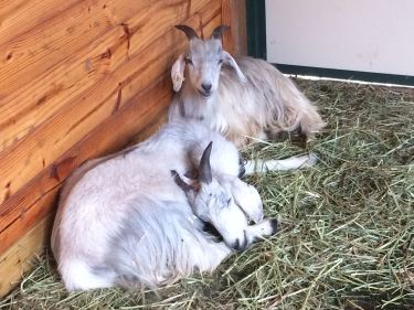 IMG_2816 Goats E and P napping.jpg