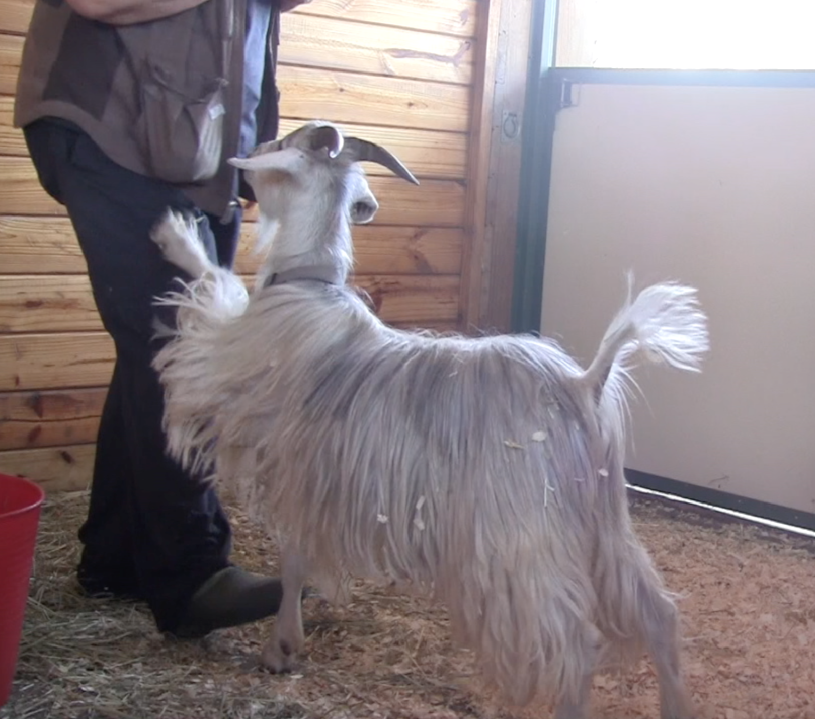 Goats E What not To Do pawing