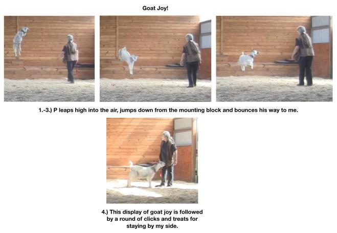 Goat diaries Day 11 Goat Joy.png