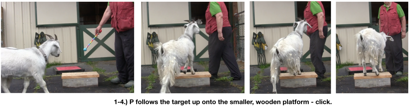 Goat diaries day 4 two platforms Pt 3  panels 1-4.png