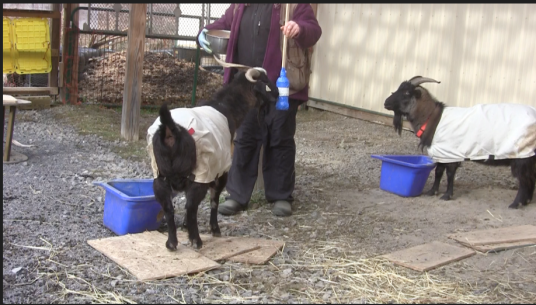 Goat Diaries T&T Learning to Share