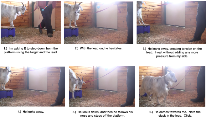 Goat Diaries Day 6 Steps towards Leading fig 1 to 6.png