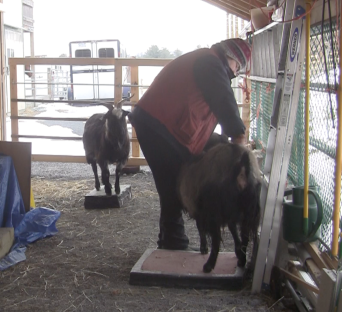 Goat Diaries Thanzi being combed 3