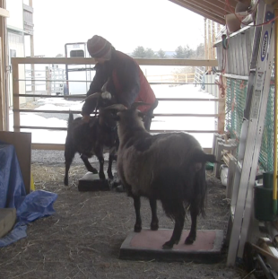 Goat Diaries Trixie being combed