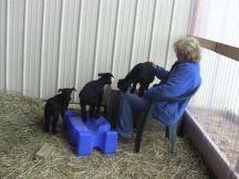 IMG_2203 Caeli goats 2