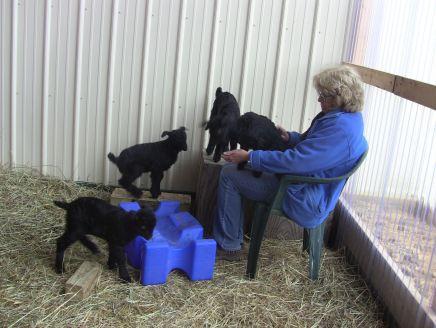 IMG_2204 caeli goats 3