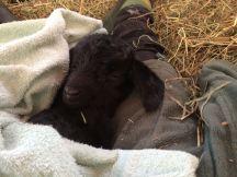 IMG_4165 triplet sleeping under towell
