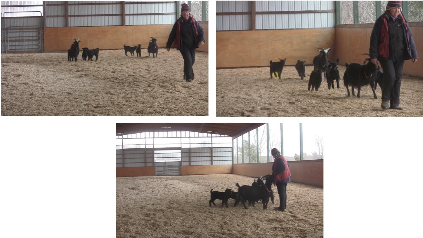 goats coming 3 panels