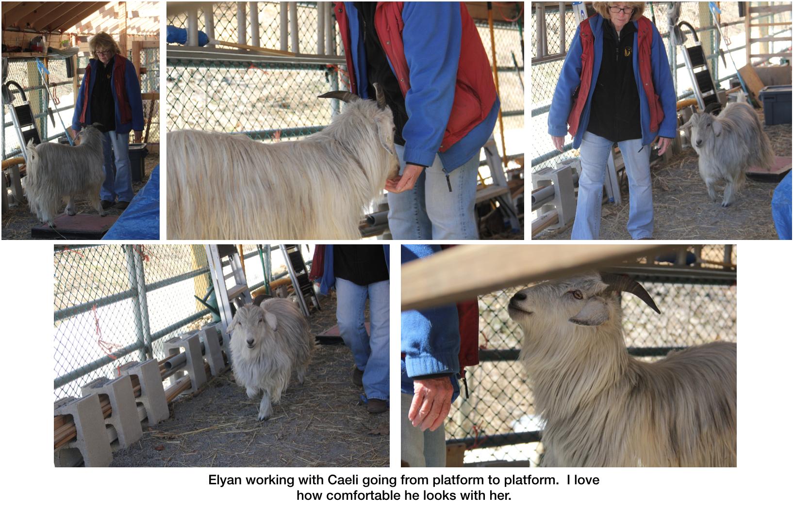 Goats Elyan working with Caeli