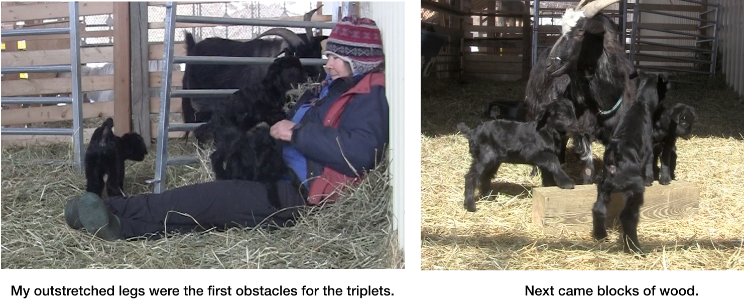 Goats First Obstacles