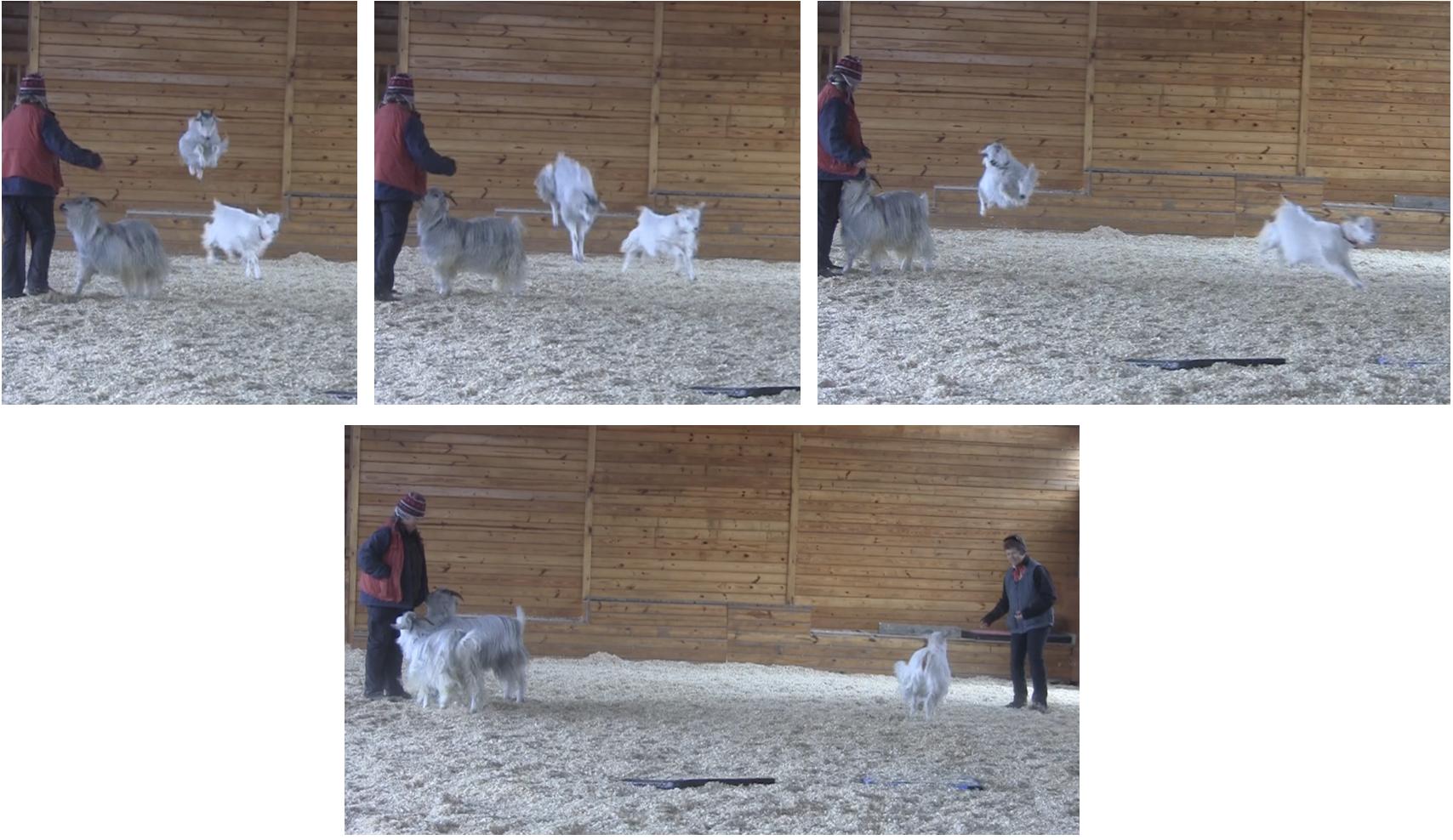 Goats Pellias the acrobat.png