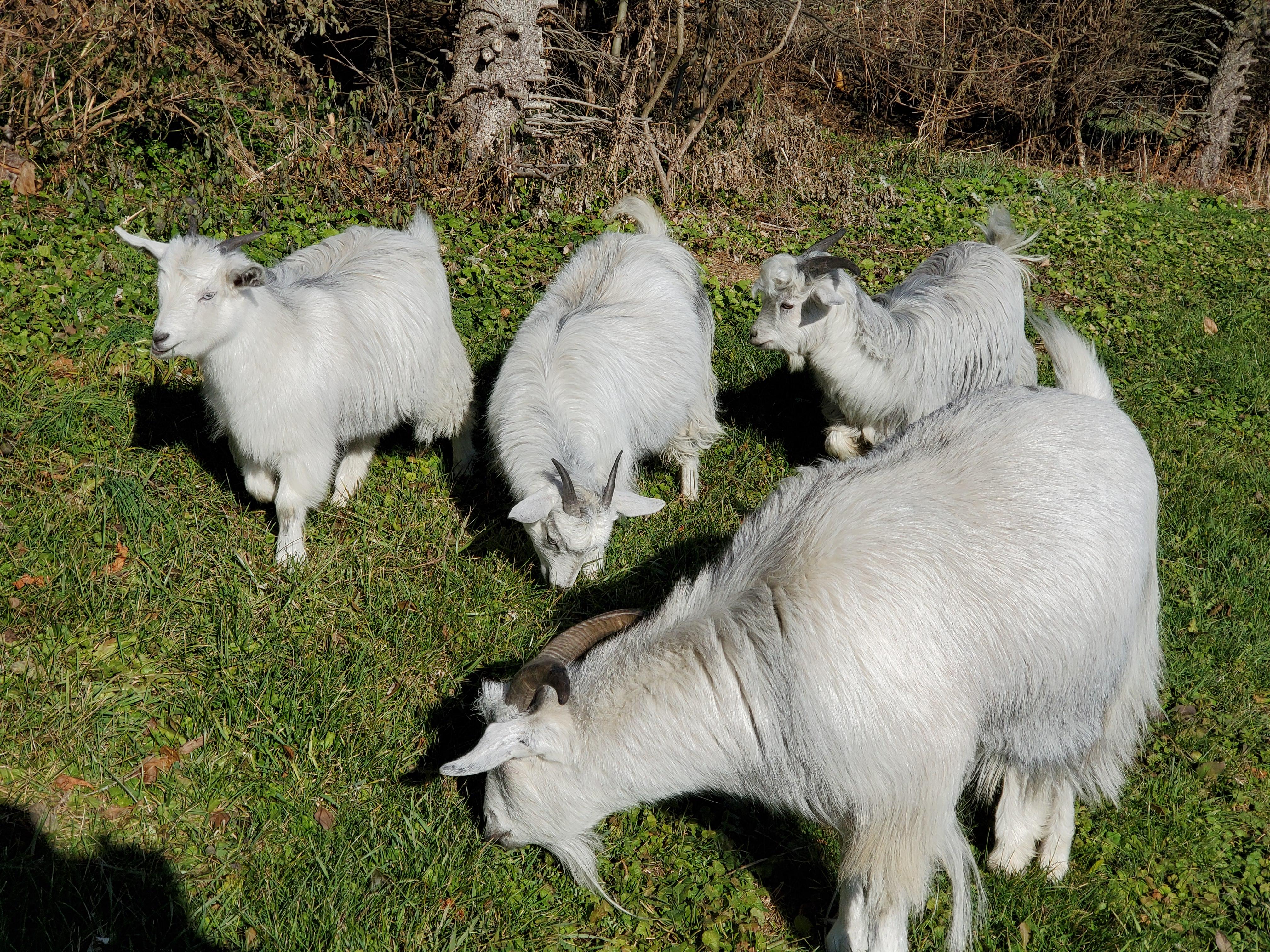 20191123_105538 goats grazing
