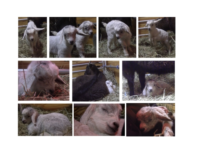 Thanzi baby goats photos day 1 1:4:19.001